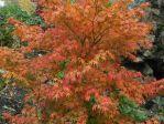 Erable du Japon (Acer palmatum) en automne