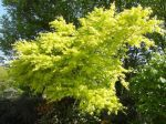Erable palm� ou �rable japonais lisse (Acer palmatum) au printemps