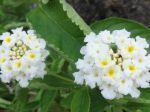 Lantanier blanc (Lantana camara)