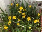Très belle fleur qui pallie le manque de couleur jaune au jardin à l'automne. Elle ne nécessite aucun entretien et se multiplie seule en agrandissant le parterre de plantation .