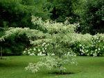 Cornus controversa variegata planté en 2011