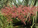 Beaucarnea recurvata du Jardin exotique de Monaco. Les fleurs ne sont pas toujours blanches ou crème