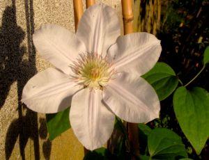La première fleur de ma clématite plantée fin août 2014 par BLAN