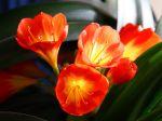 Clivie vermillon lis de st joseph lis du natal clivia for Rempotage bulbe amaryllis