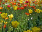 Tulipes et coquelicots. Parc Sempione, Milan, Italie.