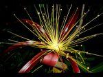 Fleur d' Adansonia madagascariensis dans les environs de Diego-Suarez (Madagascar)