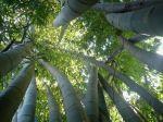 Bambous géants à Madagascar
