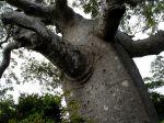 Adansonia madagascariensis dans le nord de la grande île
