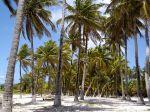 Cocos nucifera aux Antilles