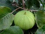 Hura crepitans jeune fruit