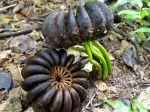 Hura crepitans fruit mature et germination