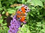 Arbre aux papillons et papillon. Irlande.
