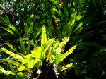 Asplenium nidus à Madagascar