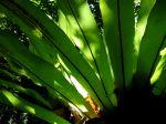 Asplenium nidus feuilles