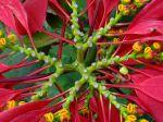 Bractées de Poinsettia en Thailande