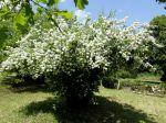 Philadelphus spp. Jasmin des poètes en Dordogne