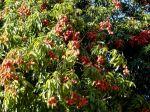 Litchi sinensis, cerisier de Chine à Madagascar, premier exportateur mondial.