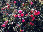 Les cam�lias dans la roseraie du Ch�teau de Chambiers