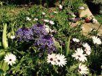 Scille du Pérou a squatté mon jardin pour ma plus grande joie.