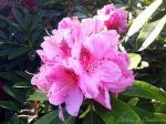 Les rhododendrons au Ch�teau de Chambiers, un r�gal pour les yeux