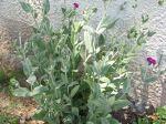 Jeune plant trouvé en nature, repiqué au jardin