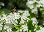 une pollinisatrice au travail dans un pyracantha en fleur