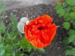 Fleur de pivoine au petit matin