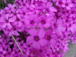 Jolies fleurs d'oxalis
