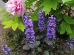 Fleurs de bugle rampante