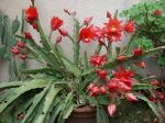 Epiphyllum hybride en pleine fleur Juin