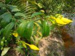 Allamanda cathartica avec fleurs en boutons du Cambodge