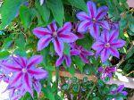 La clématite Wildfire est une grande plante de 2-4 m, sa floraison est riche en fleurs, elle fleurit de mai à octobre pour autant qu'on lui donne de l'eau. Elle aime le soleil matinal et l'ombre à midi. Son entretien est facile pour la beauté  qu'elle dégage.
