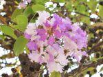Lilas des Indes ou Lagerose. Des fleurs en grappe rose et blanche