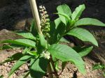 J'en ai trouvé dans mon jardin potager, en croyant que c'est du piment ou poivron, que j'avais semé au même endroit...