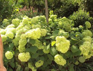 Hydrangeas blancs par CLAUDINE