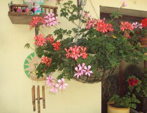 Coupe de geraniums par CLAUDINE