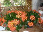 Mes 2 potées de clivias, elles ont 20 ans, chaque années elles ont une vingtaines de hampes fleuries chacune.