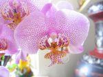 Phalaenopsis ou Orchidée papillon. J'eus aimé que la fleur se fût envolée ! Hélas ce n'était qu'une nature morte.