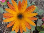 Arctotis, détail de la fleur