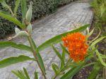 Asclépiade écarlate ou de Curaçao (fleur et fruit)