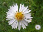 Aster blanc -Détail de la fleur