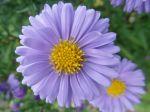 Aster violet pâle -Détail de la fleur