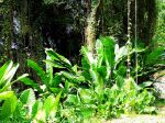 Balisiers situ�s sur la commune du Macouba (Martinique)