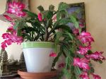 Cactus de No�l photographi� en appartement le 6 novembre