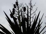 Ce yucca a environ 35 ans, c'est la première fois que je vois ses fruits, ou graines peut-être ...