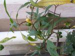 J'ai mis longtemps avant de trouver enfin le nom de cette plante apparue spontanément dans notre cour Parisienne (le Marais) mais grâce à vous...