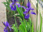 Mon iris de Sibérie.