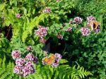 les papillons l'adorent
