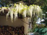 Glycine plantée il y a 4 ans tres florifère