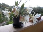 Voil� ma 1�re floraison